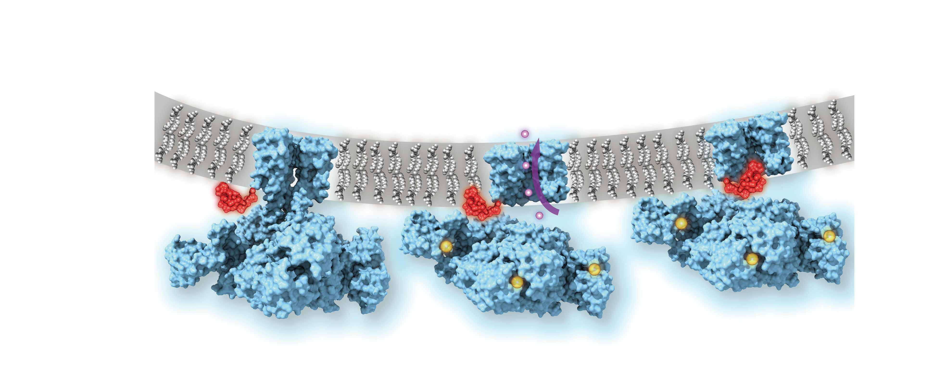 Calcium-gated potassium channel MthK in closed, open and inactivated states, from left to right. Channel structure (blue), with one subunit removed for clarity; calcium ions (yellow); potassium ions (purple); membrane (grey); N-terminal inactivation peptide (red).  The location of the peptide in the inactivated channel was identified in the structural analysis, whereas the location shown in closed and open channels is hypothetical. Image courtesy of Dr. Crina Nimigean.