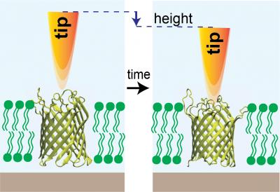 Membrane protein activity